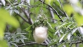 モリアオガエルの産卵 39424584
