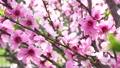 桃 桃の花 花の動画 39432364