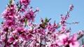 桃 桃の花 花の動画 39432412