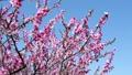 桃 桃の花 花の動画 39432417