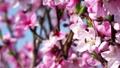 桃 桃の花 花の動画 39432419