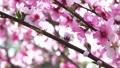 桃 桃の花 花の動画 39432421