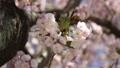 桜の花 39436420
