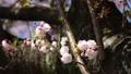 桜の花 39436421