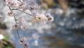 桜 ソメイヨシノ さくらの動画 39457439