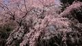 春の花~シダレザクラ~ 39460840