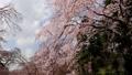 春の花~シダレザクラ~ 39460841