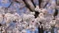 桜 ソメイヨシノ さくらの動画 39468984