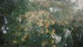 スギの花 花粉散布 39475533