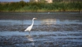 動物 鳥 湖の動画 39479784