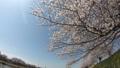 一目千本桜 大河原 39487593