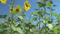 Sunflower landscape of natural floral environment 39493967