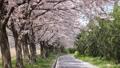 桜 桜吹雪 サクラの動画 39539353