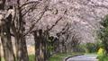 桜 桜吹雪 サクラの動画 39539354