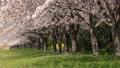 桜 桜吹雪 サクラの動画 39539356