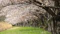 桜 桜吹雪 サクラの動画 39539358