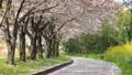 桜 桜吹雪 サクラの動画 39539359