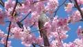ヒヨドリ 鳥 野鳥の動画 39542519