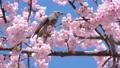 직박구리와 大寒 벚꽃 (오오칸자쿠라) 39542841