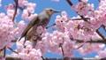 직박구리와 大寒 벚꽃 (오오칸자쿠라) 39542843