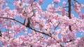 ลูกไก่หางขาวและ Okan Sakura (Okansakura) ซูมกลับ 39542849