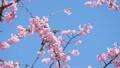 บราวน์หูสีน้ำตาลและดอกซากุระบานใหญ่ (โอคานาคุระ) 39542851
