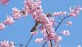 직박구리와 大寒 벚꽃 (오오칸자쿠라) 39542852