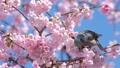 บราวน์หูสีน้ำตาลและดอกซากุระบานใหญ่ (โอคานาคุระ) 39542854
