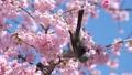 นกอินทรีหัวขาวและ Daikan Sakura (Okansakura) ซูม 39542856