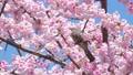 직박구리와 大寒 벚꽃 (오오칸자쿠라) 39542858