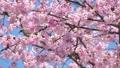 บราวน์หูสีน้ำตาลและดอกซากุระบานใหญ่ (โอคานาคุระ) 39542879