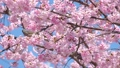 ลูกไก่หางขาวและ Okan Sakura (Okansakura) ซูมกลับ 39542880