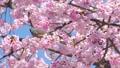 직박구리와 大寒 벚꽃 (오오칸자쿠라) 확대 39542881