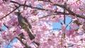 บราวน์หูสีน้ำตาลและดอกซากุระบานใหญ่ (โอคานาคุระ) 39584051