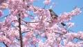 บราวน์หูสีน้ำตาลและดอกซากุระบานใหญ่ (โอคานาคุระ) 39584054