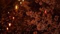 夜樱花照亮了城崎温泉 39591631