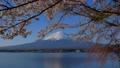 河口湖北岸からの桜と富士山 2018/04/08 39593887