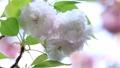 盛开的双春樱花(松月) 39614911
