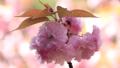 盛开的双花樱花(Sekizan) 39614913