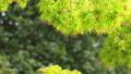 葉 植物 新緑の動画 39624543