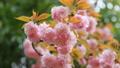 八重桜 フィクス撮影 39624830