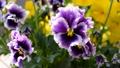 美しいパンジーの花、フリル咲き 39628105