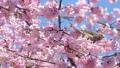 직박구리와 大寒 벚꽃 (오오칸자쿠라) 39647387