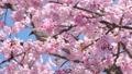 บราวน์หูสีน้ำตาลและดอกซากุระบานใหญ่ (โอคานาคุระ) 39647389