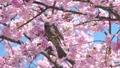 บราวน์หูสีน้ำตาลและดอกซากุระบานใหญ่ (โอคานาคุระ) 39647390