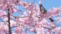 ヒヨドリ 鳥 野鳥の動画 39647743