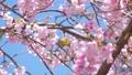 メジロと桜 39647749