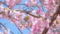 我和一棵樱桃树 39647755