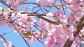 白眼和樱花缩放 39647759