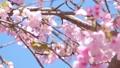 白眼和樱花变焦 39647760
